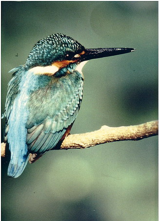 Eisvogel, Foto © Helmut Schulte