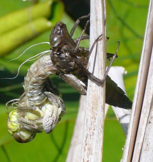 Libelle (Ausschnitt), Foto © K. Grebe