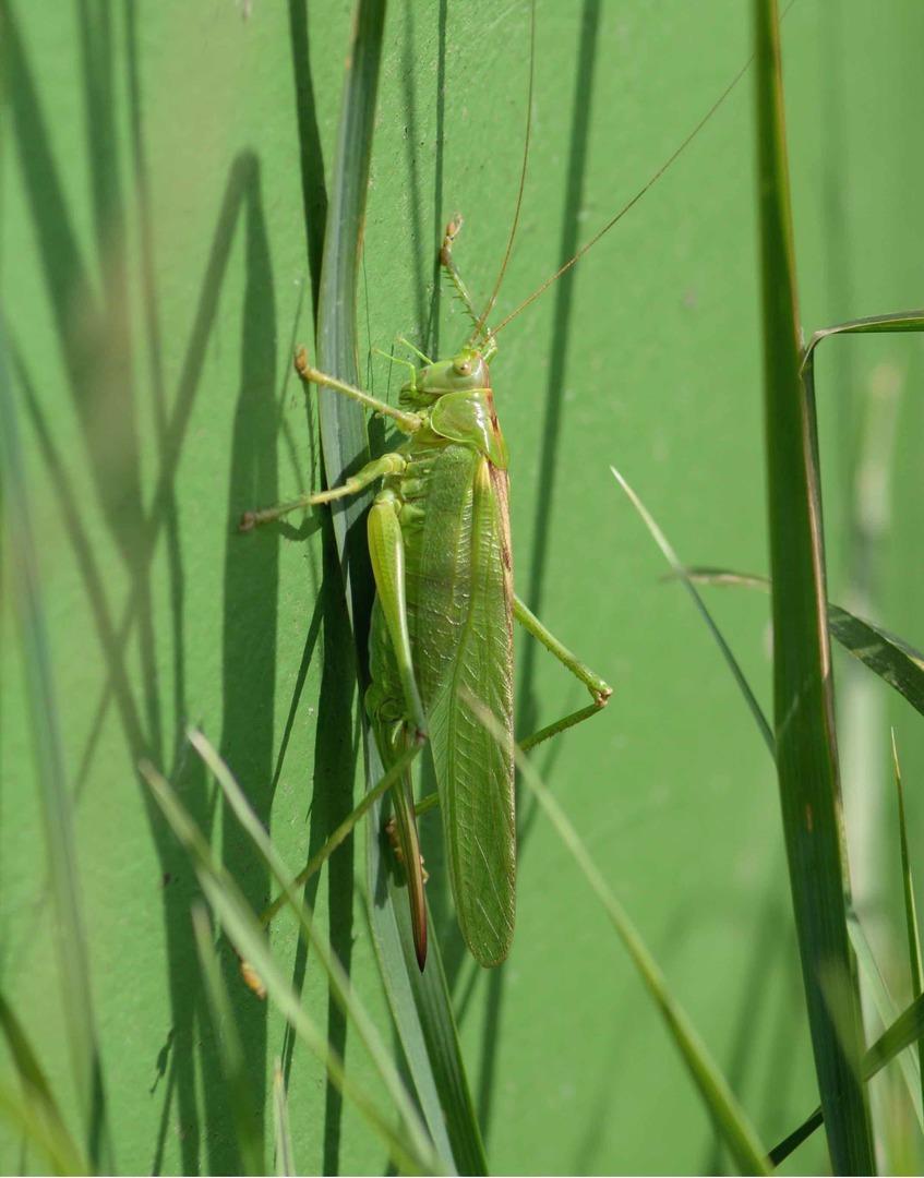 Grünes Heupferd (Weibchen mit Legestachel), Foto © Volker Meyer, NABU