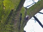 Gartenbaumläufer, Foto © U. van Hoorn