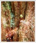 Keimling eines Redwood-Baums, Foto © K. Grebe