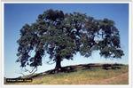 Californische Eiche, Foto © K. Grebe