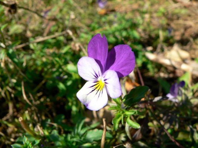 Wildes Stiefmütterchen (Viola tricolor) © NABU, Christoph Buchen