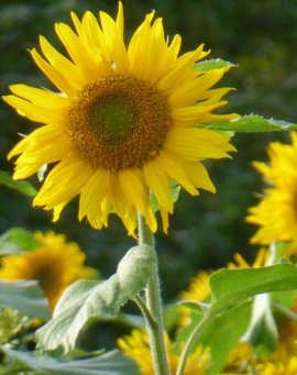 Sonnenblumen, Foto © Klaus Grebe, NABU Ruhr
