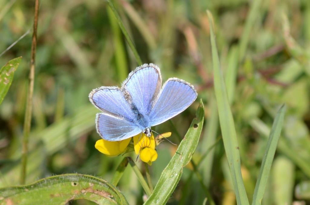 Bläuling (Polyommatus icarus), Foto © Volker Meyer, NABU Ruhr