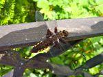 Plattbauchlibelle (Weibchen), Foto © U. Eitner