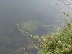 Wasserstern Gewässergrund
