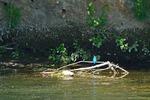 Eisvogel vor der Röhre, Foto © U. van Hoorn
