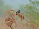 Blaukehlchen, Foto © U. van Hoorn