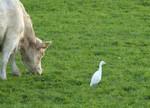 Kuh mit -reiher am Niederrhein, Foto © U. van Hoorn
