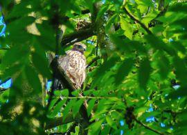 Jungvogel nach ELA, Foto © Uwe van Hoorn