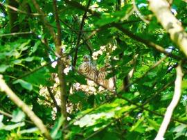 3 der 5 Jungvögel am 10.6.15, Foto © U. van Hoorn