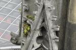 Köln, Dom, Tüpfelfarn (Polypodium vulgare), Foto © U. Eitner