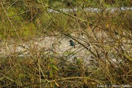 Eisvogel, Foto © J. Pern