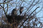 Graureiher auf dem Nest im Vogelschutzgebiet, Foto © V. Meyer, NABU