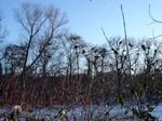 Graureiherkolonie im Vogelschutzgebiet NSG Heisinger Bogen, Foto © NABU Ruhr