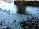 Wasservögel sammeln sich an eisfreien Stellen, Foto © NABU Ruhr