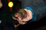 Erdkröten im Doppelpack © C. Ruhrmann, NABU