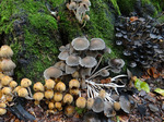 Glimmertintling, Coprinellus micaceus (essbar), Foto © Thomas Kalveram, NABU