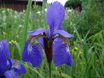 Sibirische Schwertlilie (Iris sibirica), Foto © Thomas Kalveram, NABU