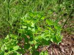 Garten-Wolfsmilch (Euphorbia peplus), Foto © Thomas Kalveram, NABU
