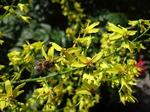 KoelreutBlasenesche (Koelreuteria paniculata), Foto © Thomas Kalveram, NABU