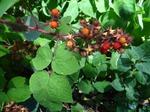 Japanische Weinbeere (Rubus phoenicolasius), Foto © Th. Kalveram, NABU