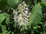 Strauchkastanie (Aesculus parviflora), Foto © Th. Kalveram, NABU