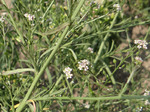 Grasblättrige Kresse (Lepidium graminifolium), Foto © Thomas Kalveram, NABU