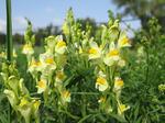 Leinkraut (Linaria vulgaris), Foto © Thomas Kalveram, NABU