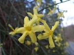 Winterjasmin (Jasminum nudiflorum), Foto © Thomas Kalveram, NABU