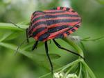 Streifenwanze (Graphosoma lineatum) Foto © Thomas Kalveram, NABU