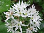 Bärlauch (Allium ursinum), Foto © Thomas Kalveram, NABU