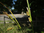 Bleiche Segge (Carex pallescens), Foto © Thomas Kalveram, NABU