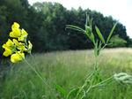 Wiesen-Platterbse (Lathyrus pratensis), Foto © Thomas Kalveram, NABU
