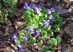 Märzveilchen (Viola odorata), Foto © U. Eitner, NABU