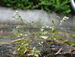 Frühlings-Hungerblümchen (Erophila verna), Foto © Thomas Kalveram, NABU