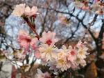 Winterkirsche (Prunus subhirtella), Foto © Thomas Kalveram, NABU