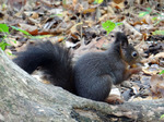 Eichhörnchen (Sciurus vulgaris), Foto © Thomas Kalveram, NABU