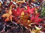 Fächerahorn (Acer palmatum), Foto © Thomas Kalveram, NABU