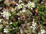 Frühlings-Hungerblümchen (Draba verna), Foto © Thomas Kalveram, NABU