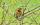 Rotkehlchen mit aufgedecktem Beffchen © Uwe van Hoorn, NABU