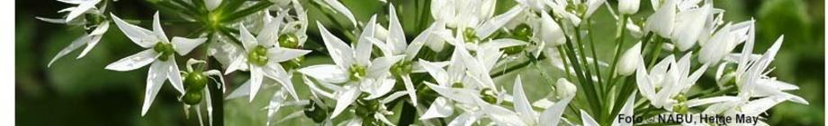Bärlauch (Allium ursinum), Foto © Helge May, NABU