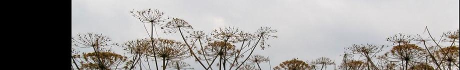 Herkulesstauden, Foto © U. Eitner
