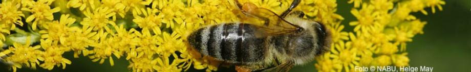 Honigbiene, Foto © NABU, Helge May