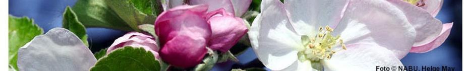 Apfelblüten, Foto © NABU, Helge May