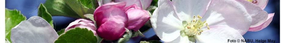 Apfelblüte, Foto © NABU, Helge May